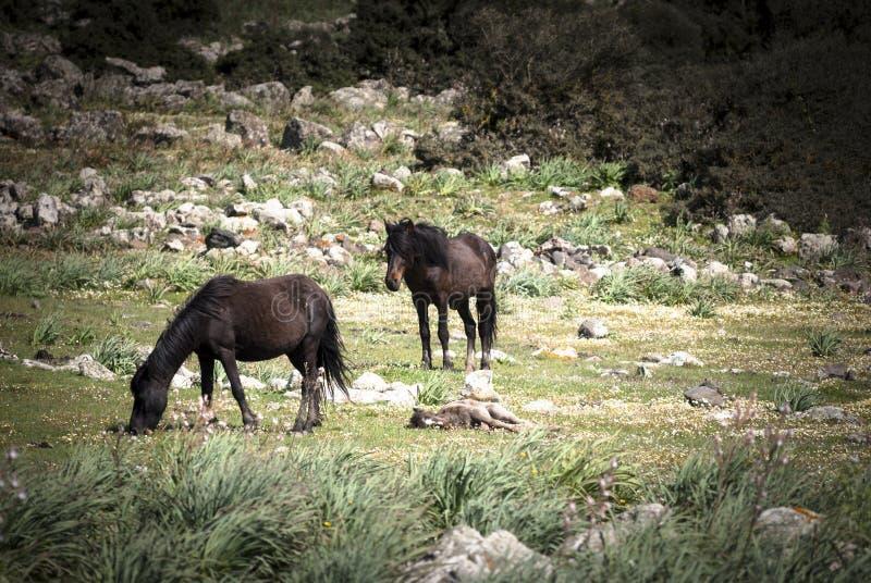 Sardinia. Wild horses stock image