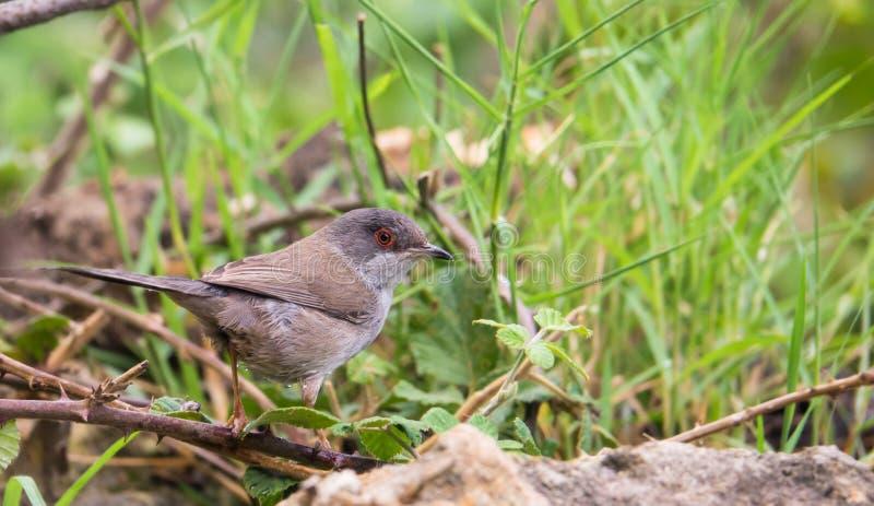 Sardinian певчая птица в богатой растительности стоковое изображение rf