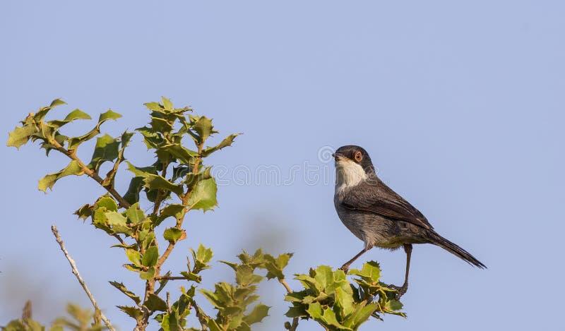 Sardinian певчая птица на Shrubbery стоковая фотография