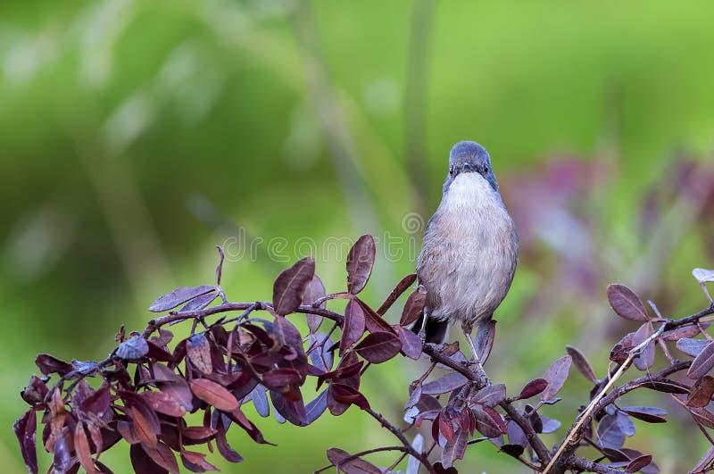 Sardinian певчая птица на Shrubbery стоковое изображение