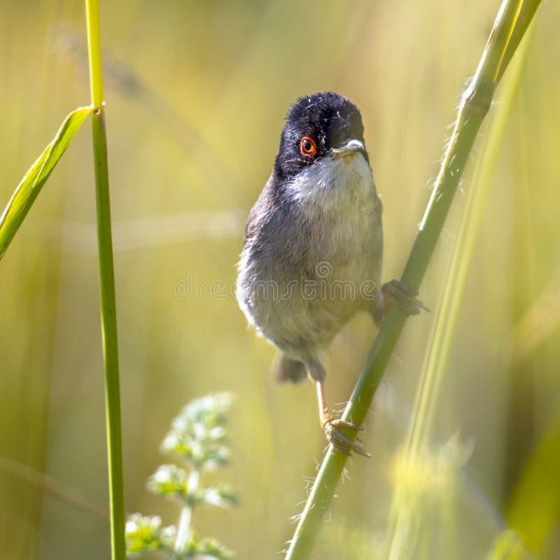 Sardinian певчая птица садить на насест на стержне травы стоковая фотография