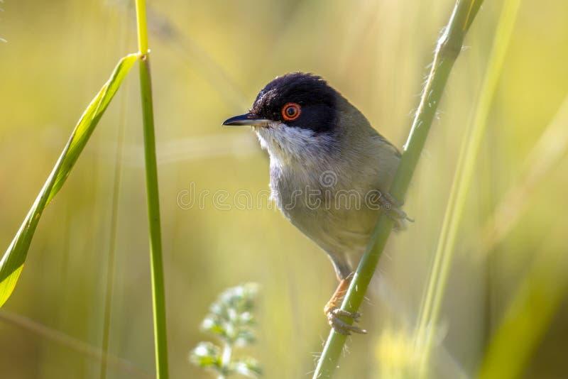 Sardinian певчая птица садить на насест на стержне травы стоковое изображение rf