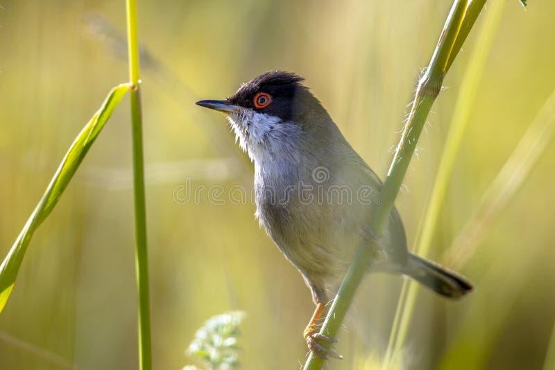 Sardinian певчая птица садилась на насест на стержне травы и смотреть, что встала на сторону стоковые изображения rf