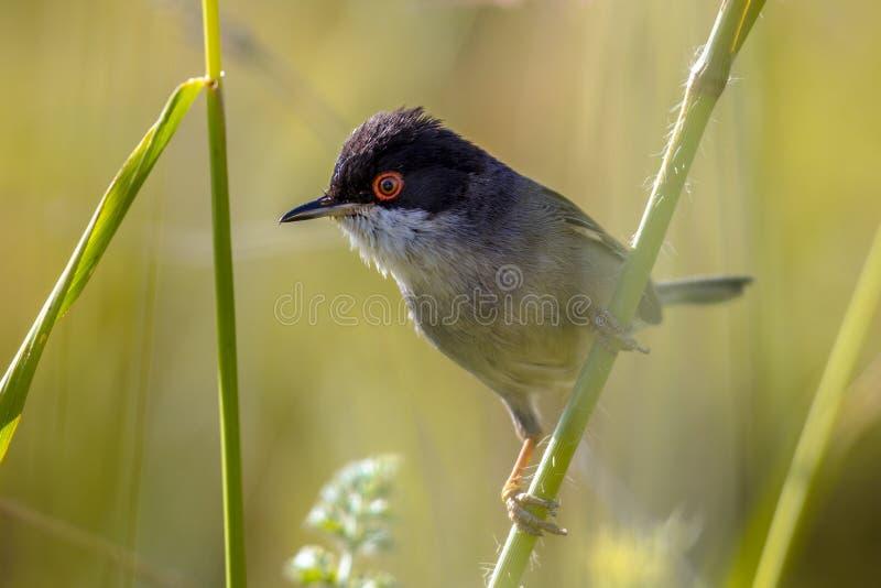 Sardinian певчая птица с красным глазом садилась на насест на стержне травы стоковые изображения rf