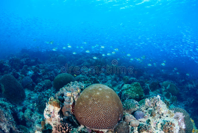 Sardynki na rafie koralowa zdjęcie royalty free