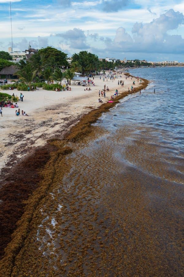 Sargassum Seaweed On Barbados Atlantic Coast Beach Editorial