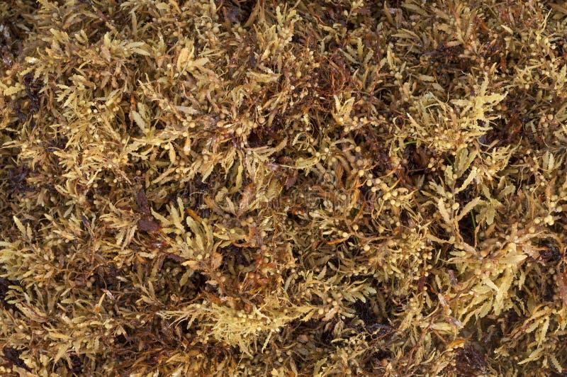 Sargassum fluitans海藻 免版税库存照片
