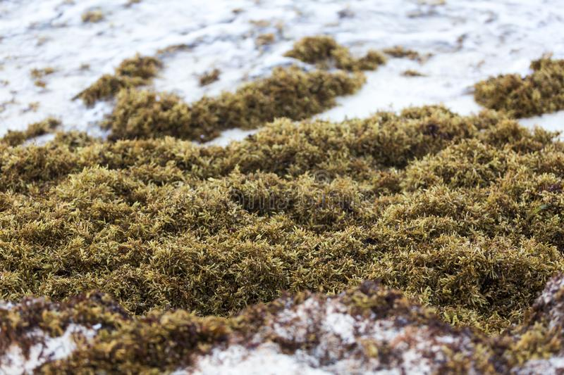 Sargassum problem in some caribbean beaches stock photography