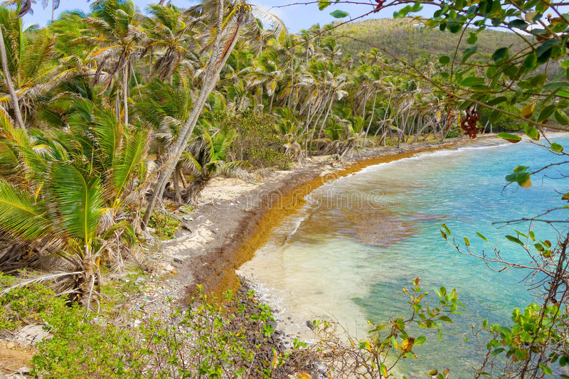 Sargassum weed marring the perfection of a beach in the caribbean stock photo