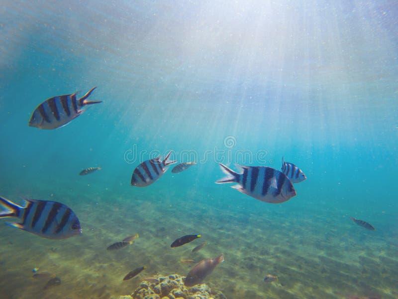 Sargento exótico dos peixes na água pouco profunda sob a luz solar A foto subaquática com coral pesca a colônia fotos de stock royalty free