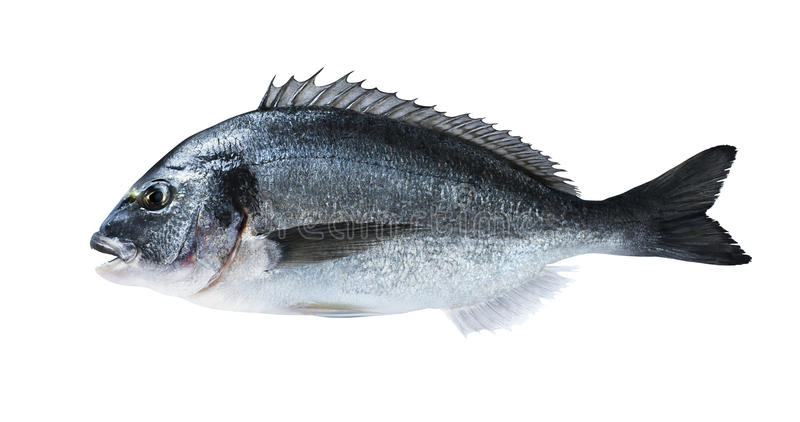 Sargo do dorado dos peixes frescos isolado no fundo branco foto de stock royalty free