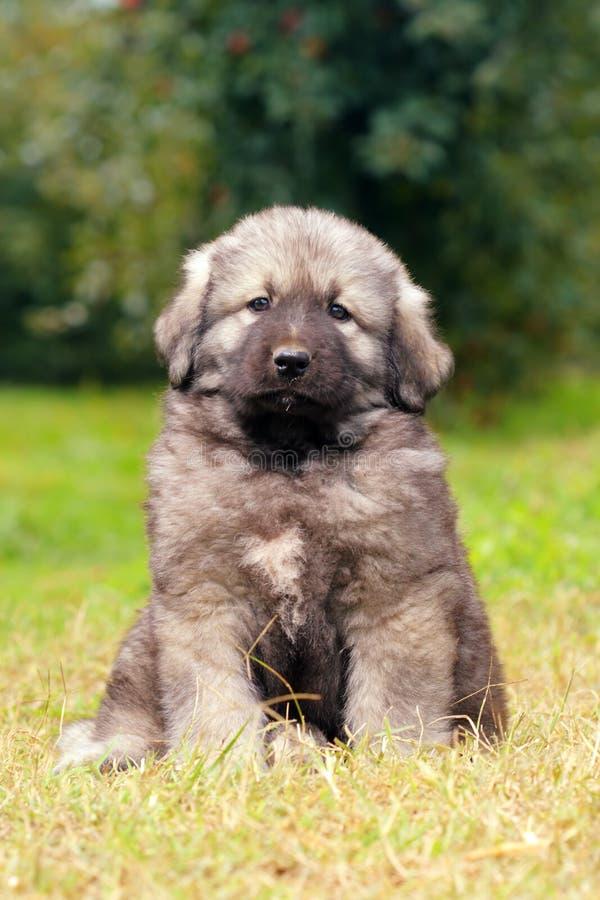 Sarplaninec, Macedonian shepherd dog royalty free stock photos