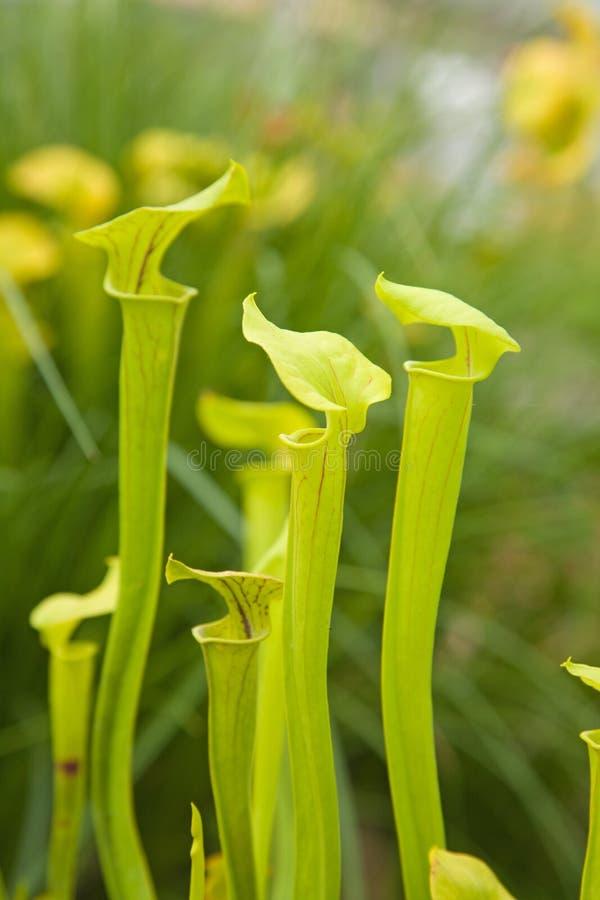 Sarracenia lizenzfreies stockbild