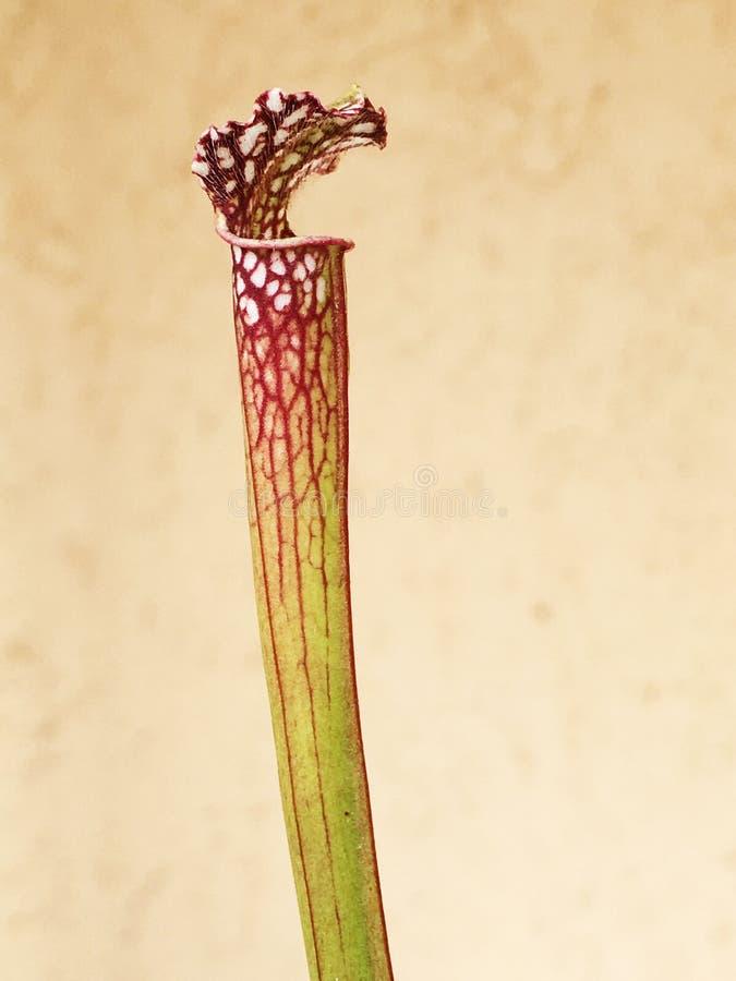 Sarracenia foto de archivo