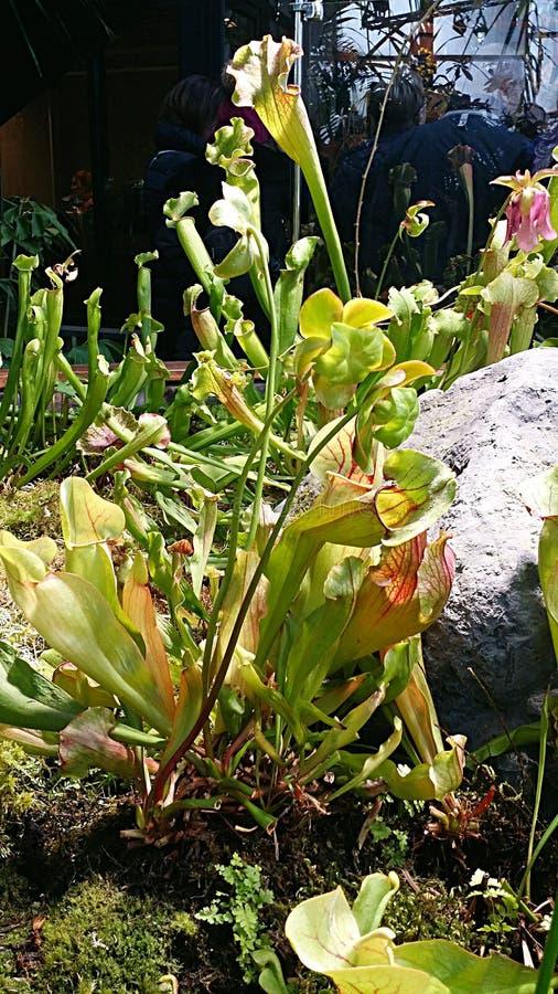 Sarracenia стоковые изображения rf