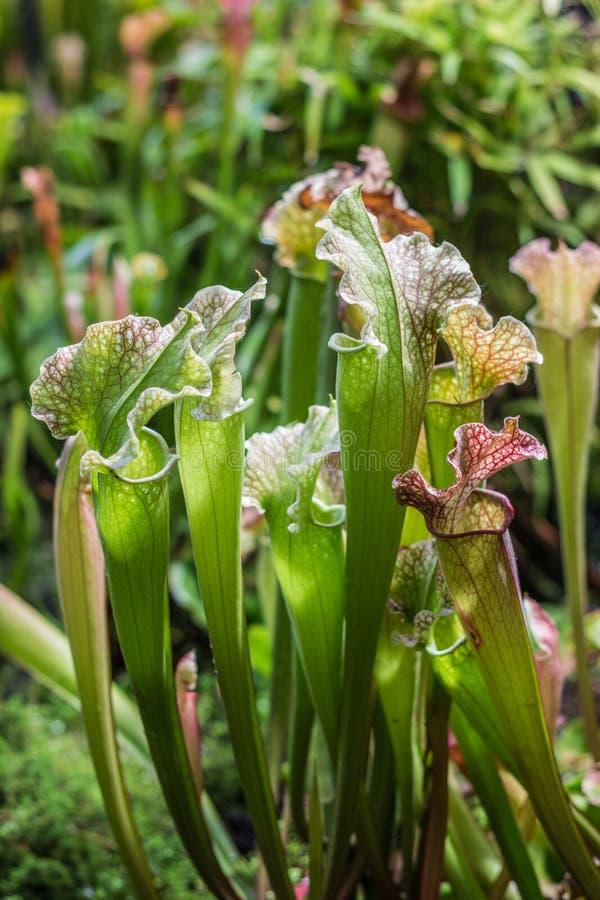 Sarracenia de la planta carnívora en el jardín botánico foto de archivo libre de regalías