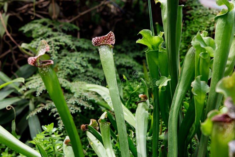 Sarracenia Exotische Blume Fleisch fressende Kannenpflanzen stockfoto