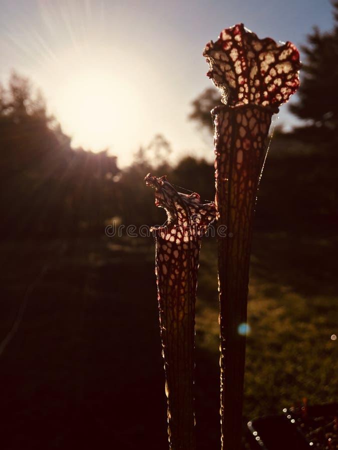 Sarracenia stockbild