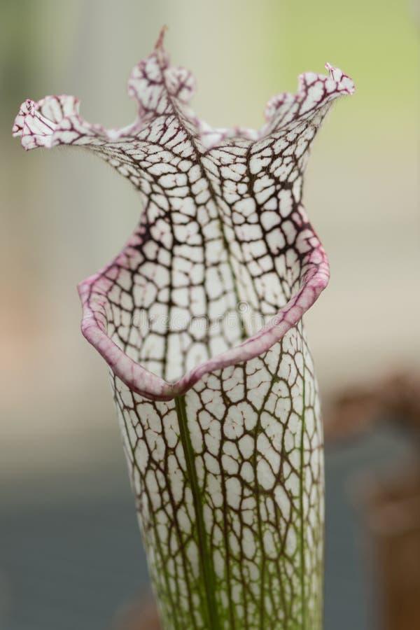 Sarracenia, Klasse von Fleisch fressenden Anlagen lizenzfreie stockfotos