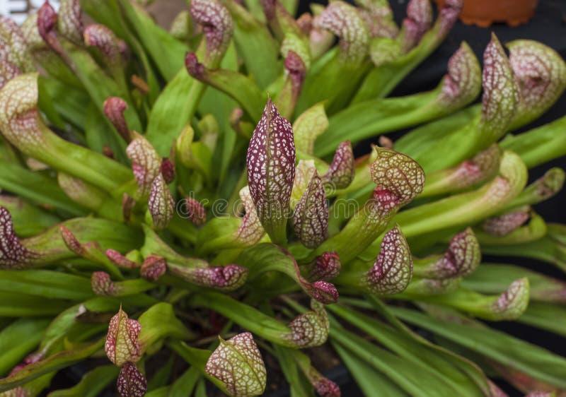 Sarracenia, planta carnívora imagenes de archivo