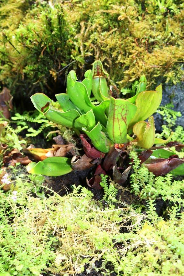 Sarracenia psittacina - mięsożerna roślina z horyzontalnymi miotaczami obraz royalty free