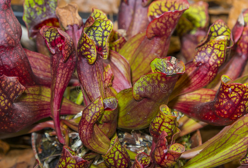 Sarracenia purpurea. A sarracenia purpurea close up royalty free stock photo