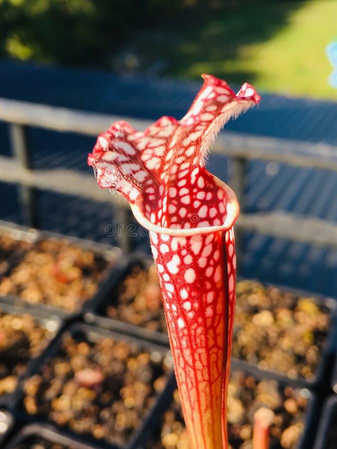 Sarracenia imagen de archivo
