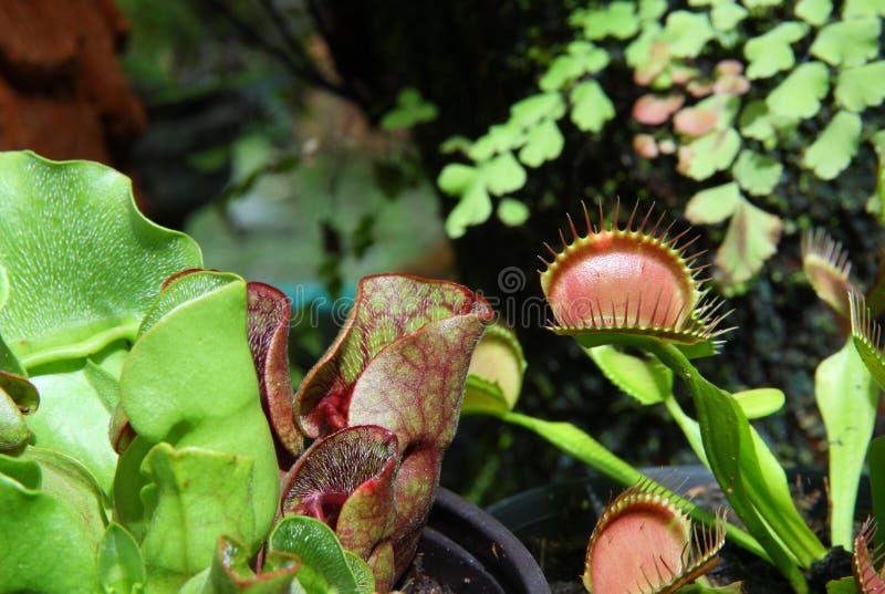 Sarracenia y Venus Flytrap imagen de archivo libre de regalías