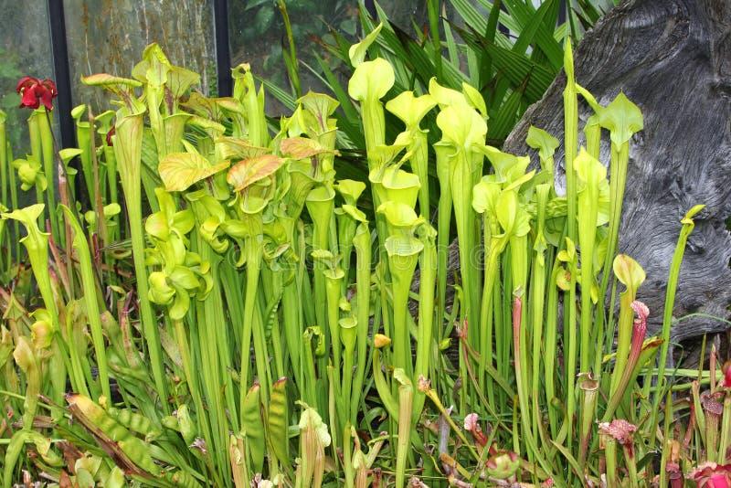 Sarraceniakannaväxt arkivbild