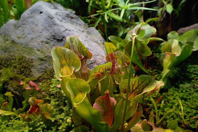 SARRACTION predator plant of the tropics flycatcher stock images