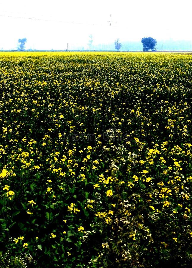 Sarso nas explorações agrícolas, cultivo amarelo da flor ilustração stock