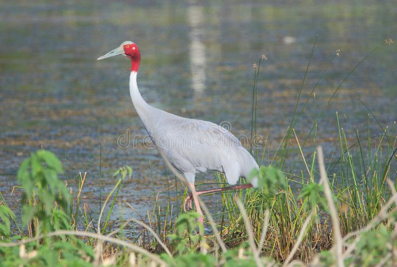 Sarus走在池塘的边缘的起重机鸟 免版税库存照片