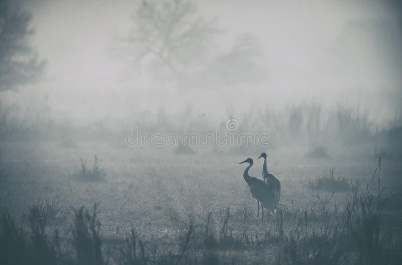 Sarus起重机对在一个有薄雾的早晨看在bharatpur 免版税图库摄影