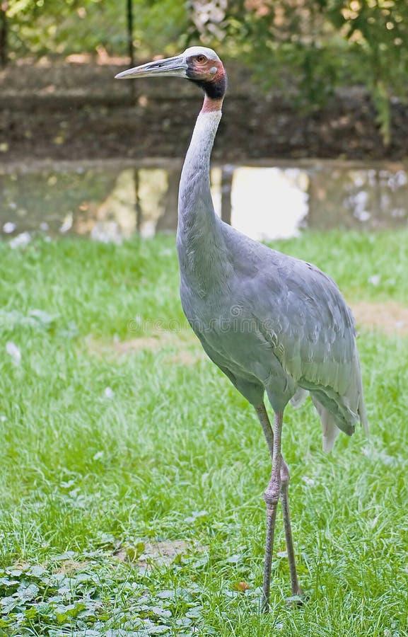Free Sarus Crane 1 Royalty Free Stock Photos - 3204588