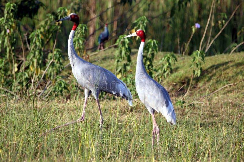 Sarus crane royalty free stock photography