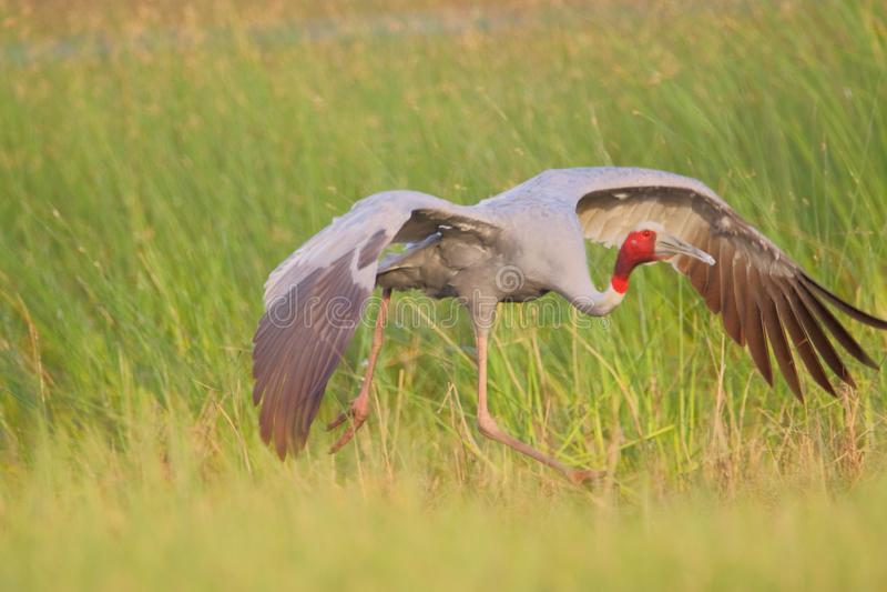 Sarus Crane Bird arkivbild