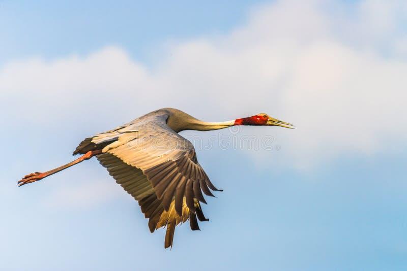 Sarus Crane flying royalty free stock photo