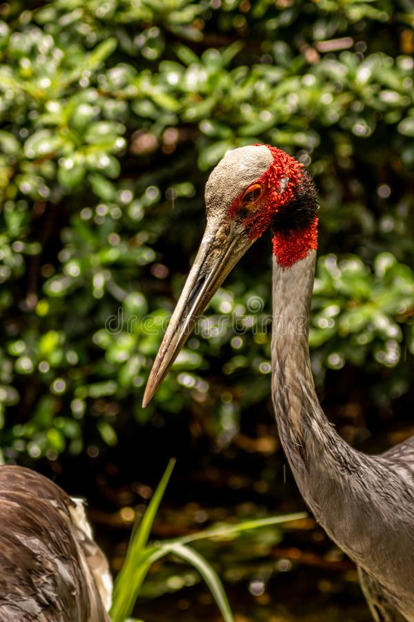 Sarus Crane Side View Looking Toward Camera on Sunny Day stock images