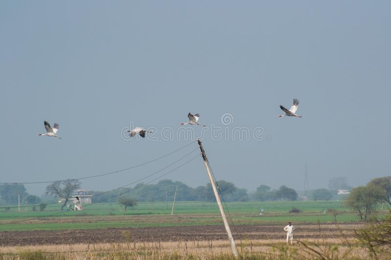 Sarus Crane and their Habitat Destruction. Sarus Crane Antigone antigone and their Habitat Destruction by conversion of wetland shores into agriculture fields in royalty free stock images