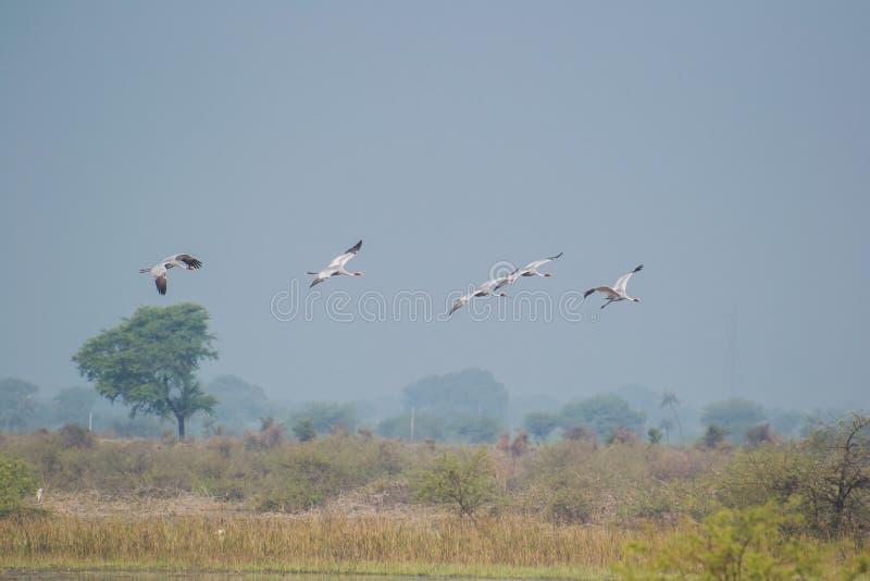 Sarus Cranes Lading in their Habitat. Sarus Cranes Antigone antigone landing in their habitat having reeds. Sarus Crane is the biggest resident Bird of India stock images
