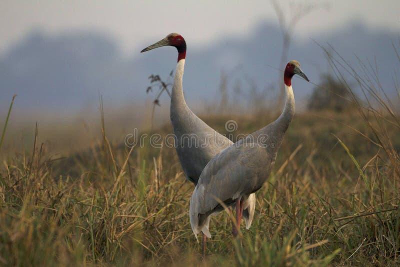 Sarus kranar, Grusantigone, Keoladeo Ghana nationalpark, Bharatpur, Rajasthan, Indien arkivbild