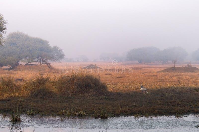 Saruskraanvogel, кран Sarus, Антигона Grus стоковое фото rf