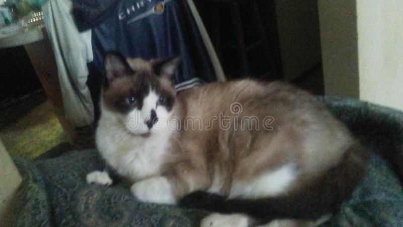 Sashsquash o gato gigante fotos de stock royalty free