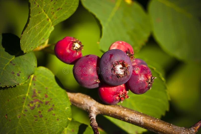 Saskatoon-Beeren, die am Sommer reifen stockbilder