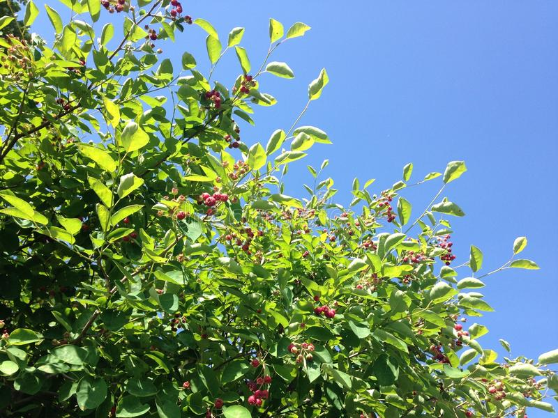 Saskatoon Berries. royalty free stock images