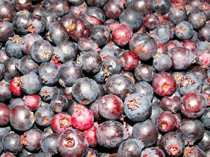 Saskatoon Berries stock photos