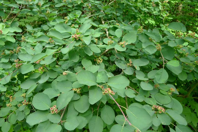 Saskatoon Berry Plant fotografía de archivo