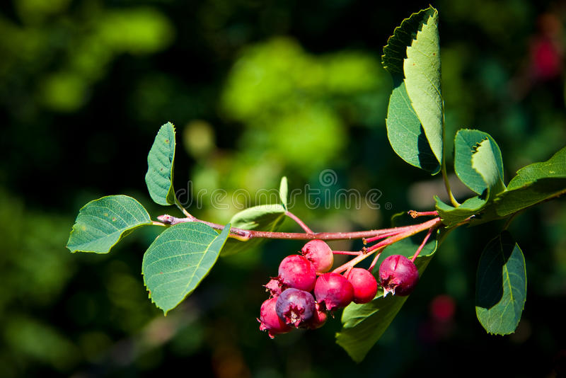 Saskatoon Berry Tree stock images