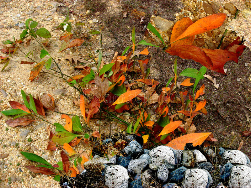 Sassafras Leaves with Rocks royalty free stock photography