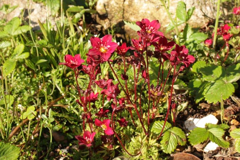 Sassifraga Rockred rosso-cupo che cresce in una fine del rockery su fotografia stock libera da diritti